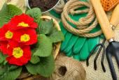 Herramientas de jardinería y primula hermoso rojo en maceta — Foto de Stock
