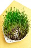 Green wheat grass with mustiness isolated on white background — Stock Photo