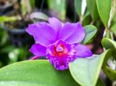 Purple Orchid. — Stock Photo