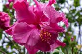 Kwiat hibiskusa, po deszczu. — Zdjęcie stockowe