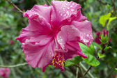 Pink Hibiscus After Rain. — Stockfoto