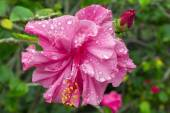 Pink Hibiscus Flower and Bud After Rain. — Stockfoto