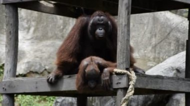 Reproduction of Bornean orangutan — Стоковое видео