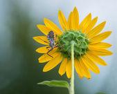 Wheel bug (Arilus cristatus) on sunflower — ストック写真
