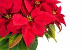 Red poinsettia flower (Euphorbia pulcherrima) — Stock Photo