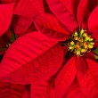 Red poinsettia or Christmas Star flower — Stock Photo #59576357