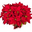Red poinsettia (Euphorbia pulcherrima) — Stock Photo #59576471