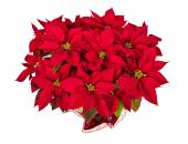Red poinsettia (Euphorbia pulcherrima) — Stock Photo