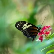 Tiger Longwing butterfly — Stock Photo #62393373