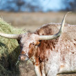 Texas Longhorn feeding in the pasture — Stock Photo #64030443