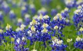 Texas bluebonnets (Lupinus texensis) blooming on the meadow — Stock Photo
