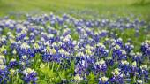 Texas bluebonnets (Lupinus texensis) field blooming — Stock Photo