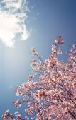 Cherry tree blossoms in the spring — Стоковое фото