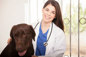 Veterinarian  examine labrador — Stock Photo