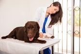 Veterinarian examining  bandage — Stock Photo