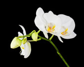 Three day old white orchid on black background.  — Stock Photo