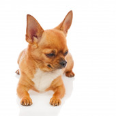 Chihuahua dog isolated on white background. — Stock Photo