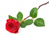 Red Rose with Leaves Isolated on White Background. — Stock Photo