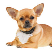 Chihuahua Dog in Anti Flea Collar Isolated on White Background. — Stock Photo