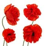 Set of Single Poppy Flowers Isolated on White Background. — Stock Photo #56466551