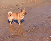 Red Chihuahua Dog on Nature Background.  — Stock Photo