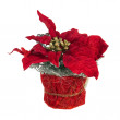 Composition from Poinsettia Plant with branches, cones, ribbons — Stock Photo #59547533