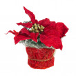 Composition from Poinsettia Plant with branches, cones, ribbons — Stock Photo #60293301