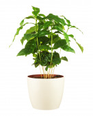 Coffee tree in flower pot isolated on white background. — Stock Photo