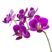 Blooming twig of purple orchid isolated on white background. — Stock Photo