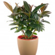 Ficus elastica (Indian Rubber Bush) in light brown flowerpot. — Stock Photo #70707517