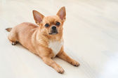 Red chihuahua dog on wooden background. — Stock Photo