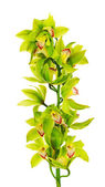 Blooming twig of green yellow purple orchids. — Stock Photo