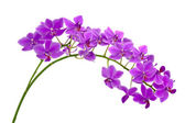 Blooming twig of purple orchid. — Stock Photo