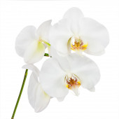 Flowers orchids isolated on white background. — Stock Photo