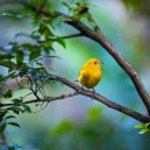 Yellow bird — Stock Photo #52482619