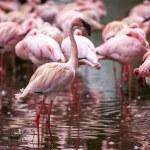 A flock of pink flamingos — Stock Photo #52482713