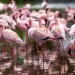 A flock of pink flamingos — Stock Photo #52482749