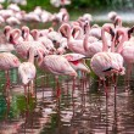 A flock of pink flamingos — Stock Photo #52482767