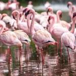 A flock of pink flamingos — Stock Photo #52482787