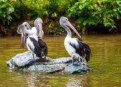 Gray pelicans — Stock Photo