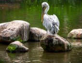 Gray pelican — Stock Photo