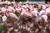 A flock of pink flamingos — Stock Photo