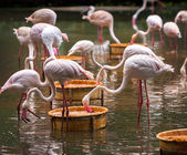 A flock of pink flamingos — Stock Photo