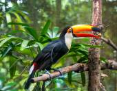 Brasilia toucan — Stock Photo