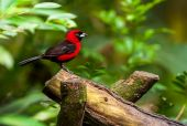 Red bird on a branch — Stock Photo