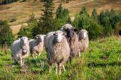 Otlayan koyun sürüsü — Stok fotoğraf