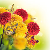 Chrysanthemums with flares, butterflies — Stockfoto