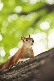 Squirrel in summer park  — ストック写真