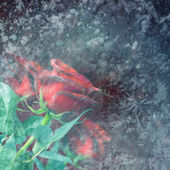 Frozen red roses — Stock Photo