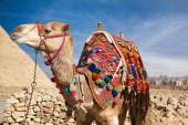Camel in Egypt and Pyramid — Stock Photo